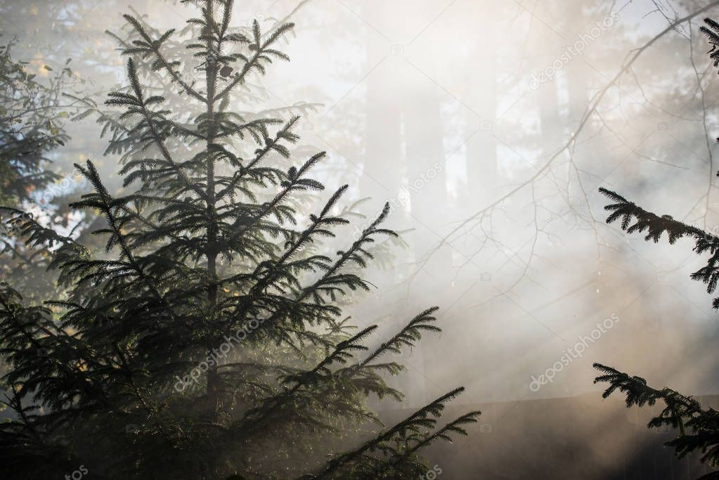 Autumn Landscape Morning Fog Forest Sun Rays Branches Pine Trees Stock Photo
