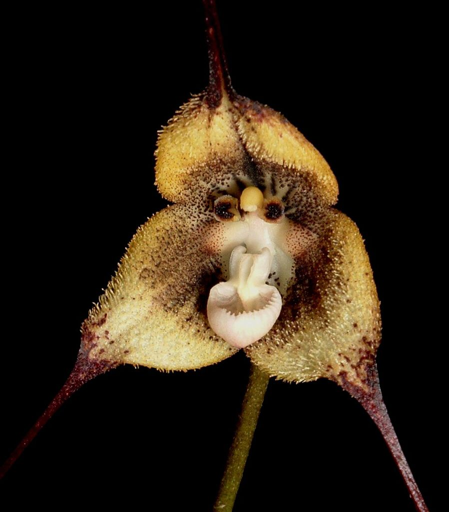 Dracula christineana orchids pinterest dracula