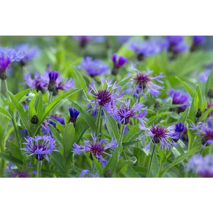 centaur e bleuet des montagnes herbac es fleurs. Black Bedroom Furniture Sets. Home Design Ideas