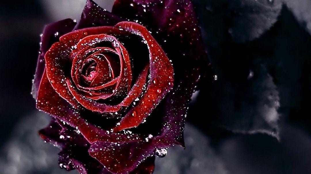1080p Red Rose With Black Background Hd Wallpaper Doraemon Wallpaper Kawaii Seni