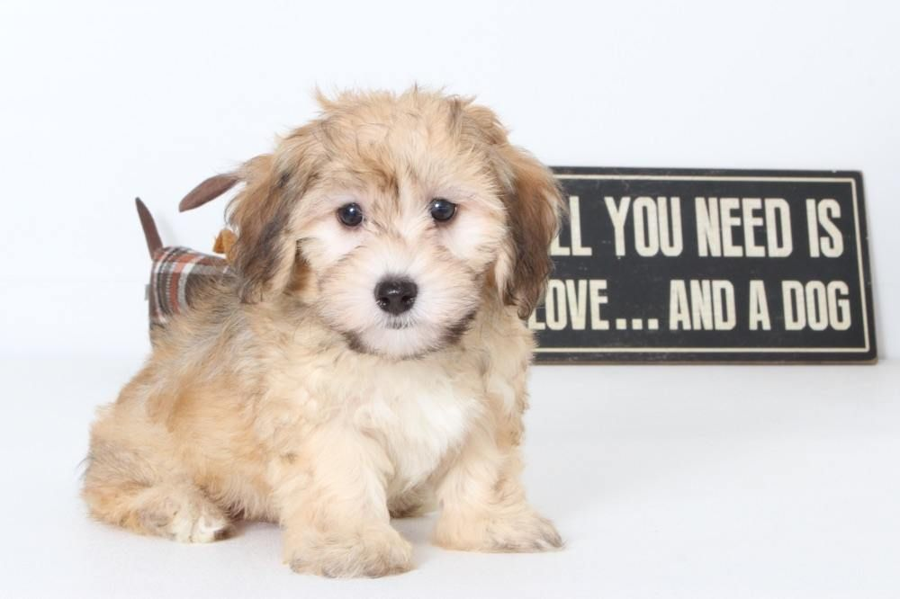 Puppies For Sale In Florida And Nationwide Havapoo Puppies Puppies Puppies For Sale