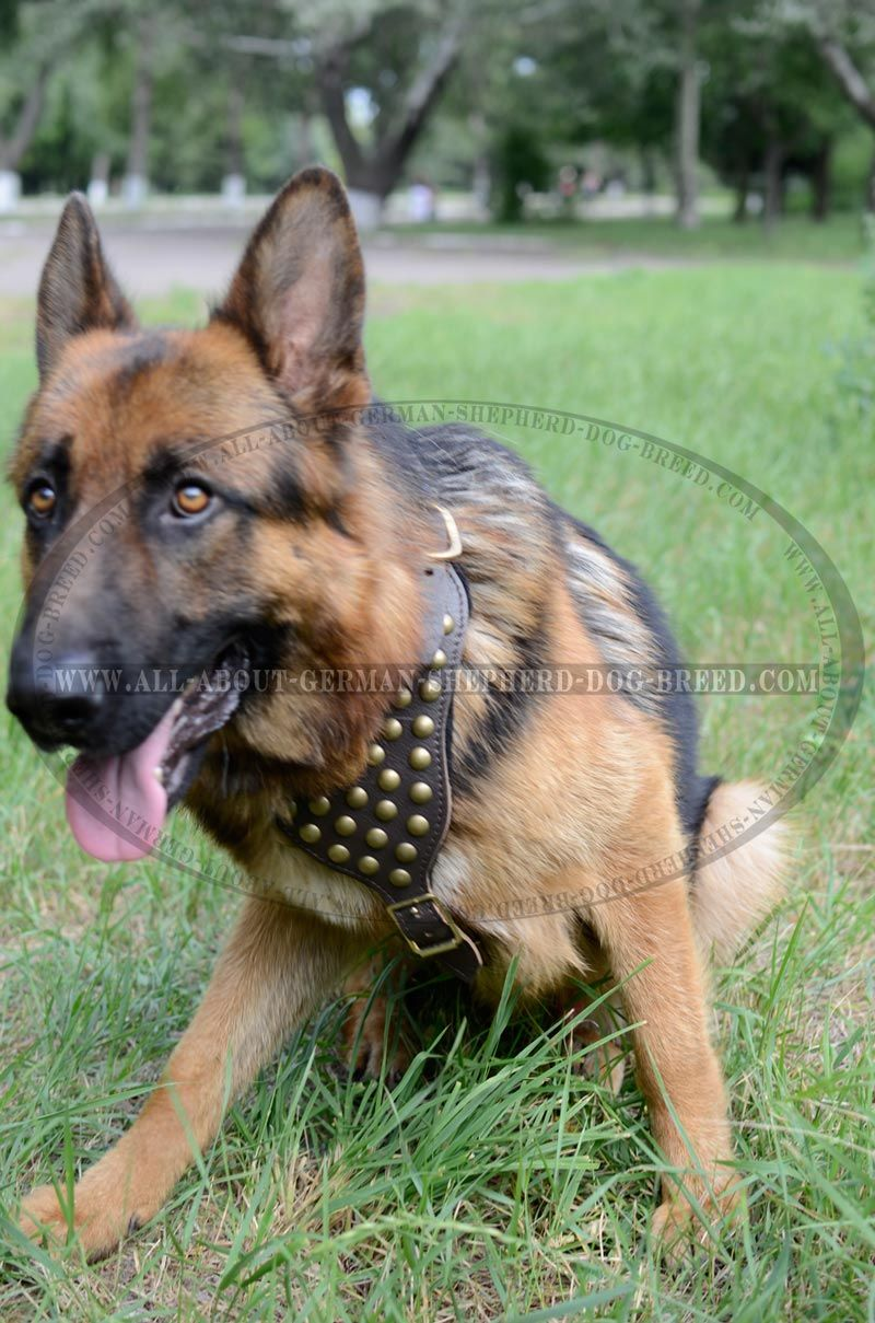 Studded Leather Canine Harness For German Shepherd Breed