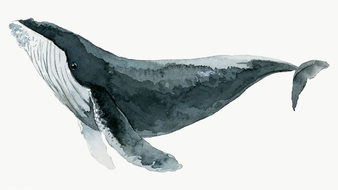 Watercolor Painted Humpback Whale Transparent Png Premium Image By Rawpixel Com Niwat Whale Watercolor Illustration Watercolor Whale Whale Drawing