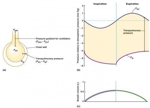 Lung Pressures And Lung Compliance Lungs