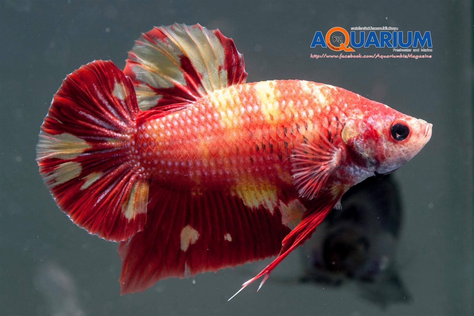 ผลการประกวดปลาก ด งานเกษตรแฟร การประกวดและแข งข นทางการประมง จำหน าย ขายปลาก ดไทย ปลาสวยงาม ราคาถ กค ณภาพด Lovebettafish Com Inspired ปลาก ด ปลาสวยงาม