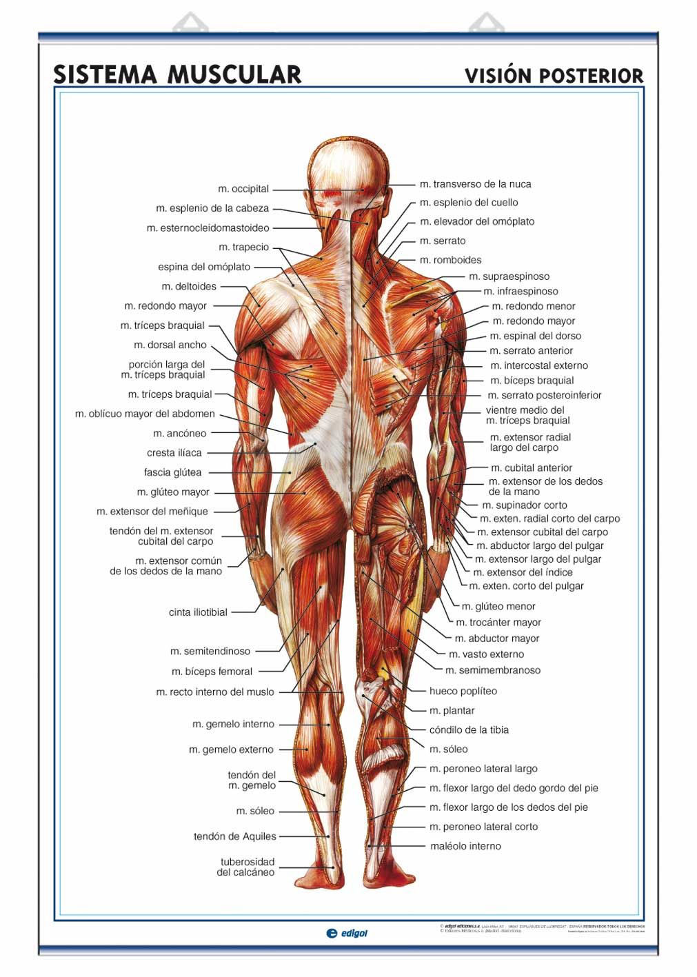 Muscular System Back View Fitness Pinterest Muscular System