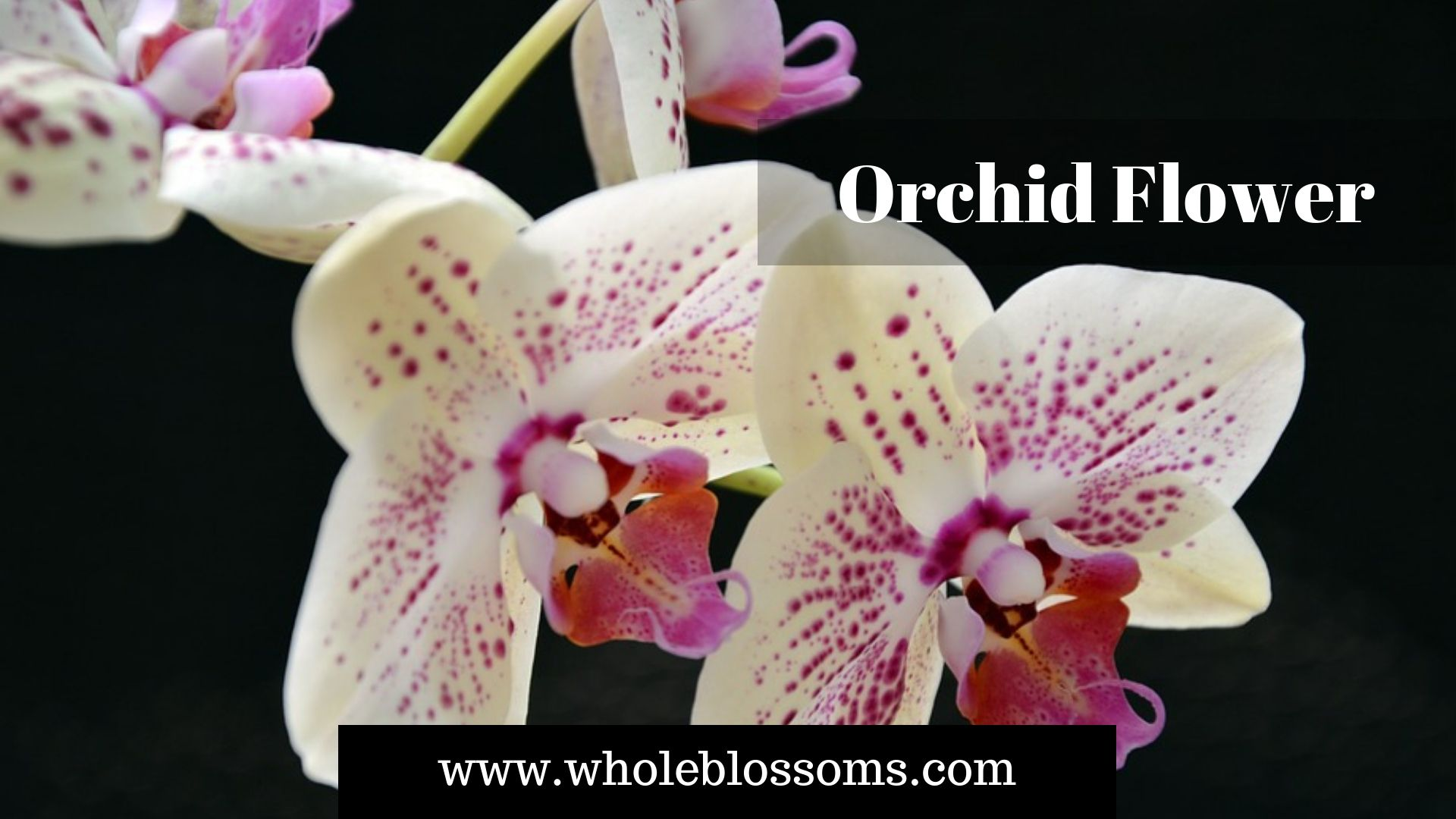 Orchid Flowers Come In Many Different Varieties And Colors Such As Pink Orchid Purple Orchid White Orchid And M Orchid Flower Orchids Online Flowers For Sale