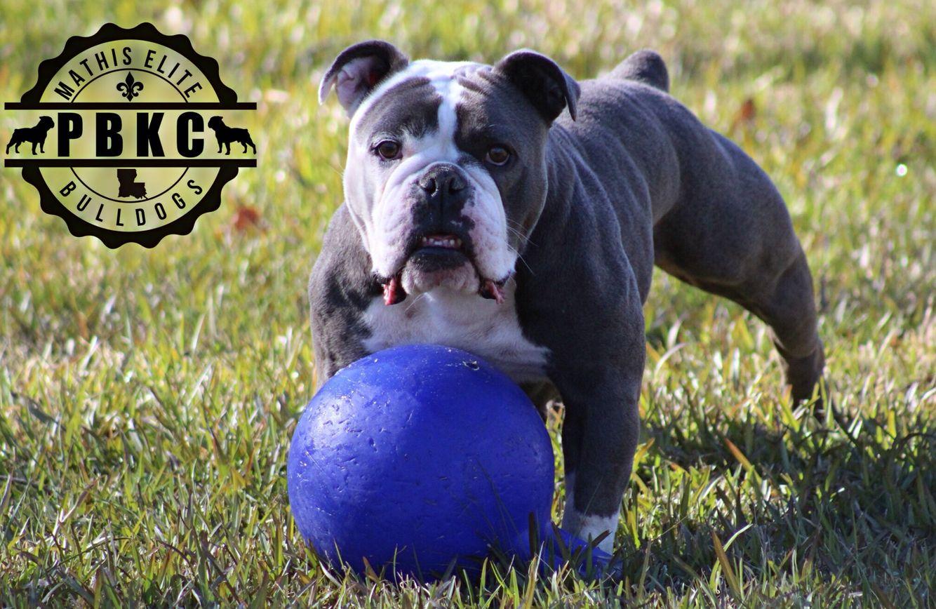 Bloo Sage Old English Bulldog Bully Breeds Bulldog