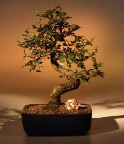 Chinese Elm with Curved Trunk