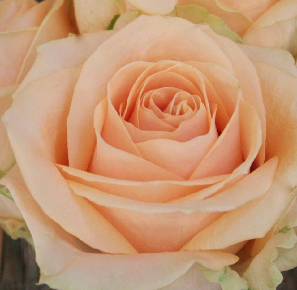 The Beauty Of Of One Of The Three Avalanche+ Rose