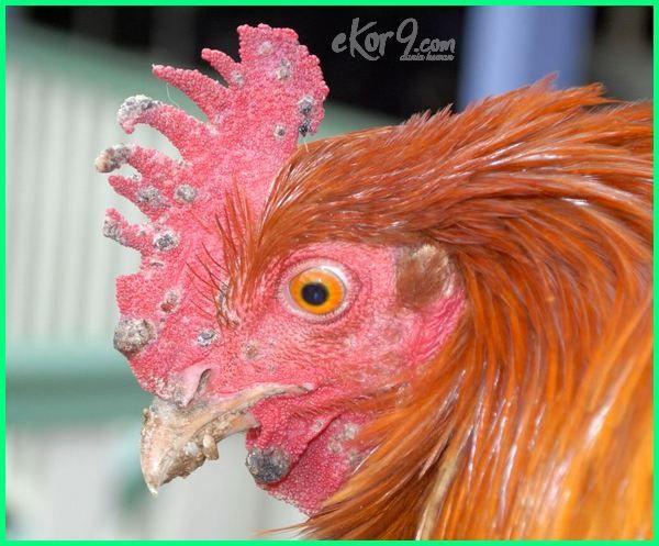 22 Macam Jenis Penyakit Pada Ayam dan Cara Mengobatinya ...
