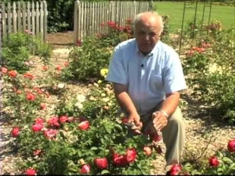Rose Bush Pruning Trim Rose Bushes Pruning Roses Horticulturist