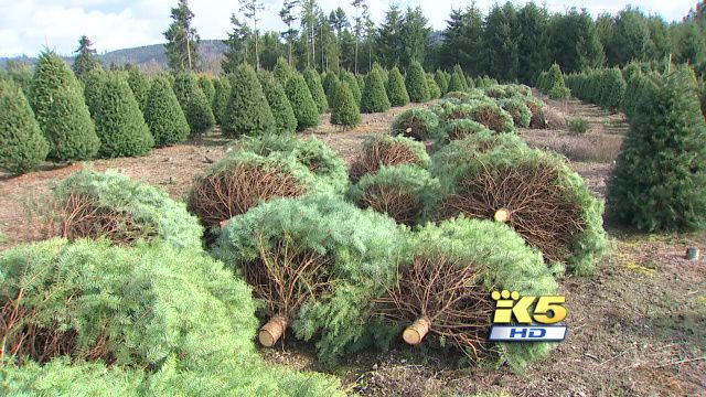 Pest detectives on the case at Christmas tree farm   KING5 ...