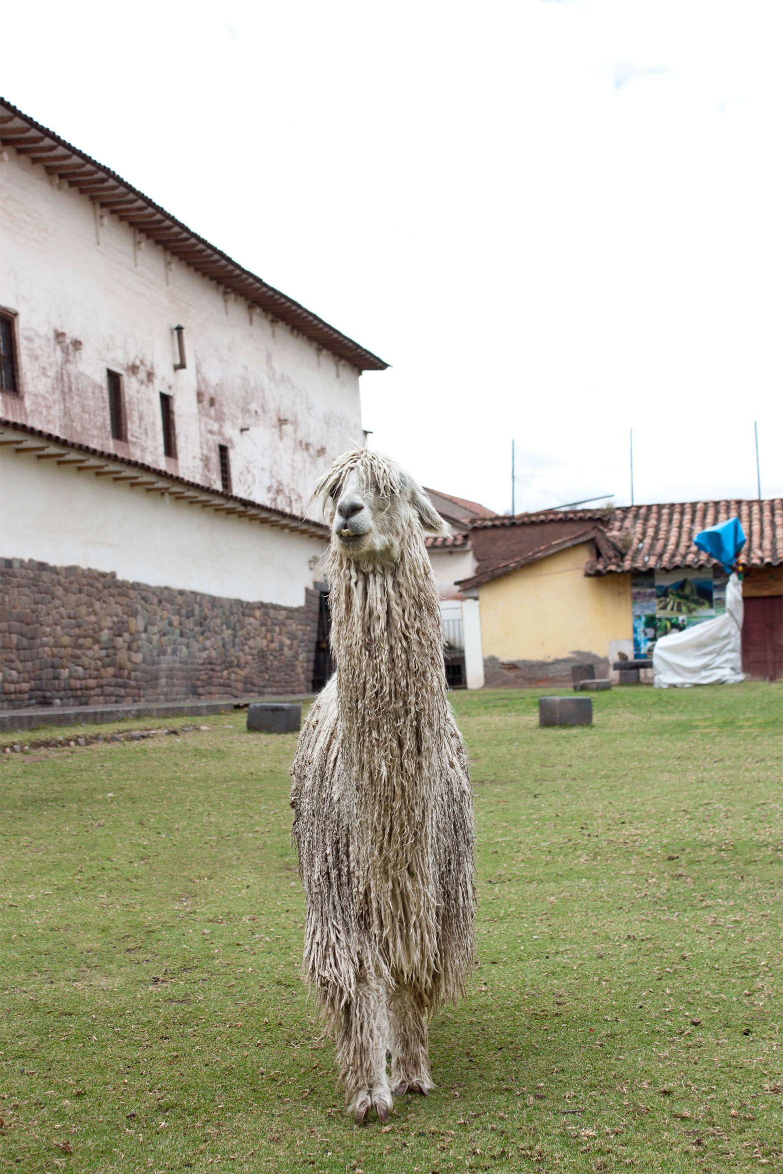 "La llama ""Chirli"", Cusco, Perú."