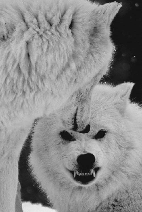 Two Angry White Wolves