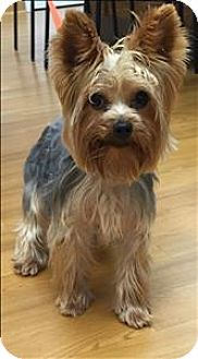 Canton Ga Yorkie Yorkshire Terrier Mix Meet Charlie A Dog