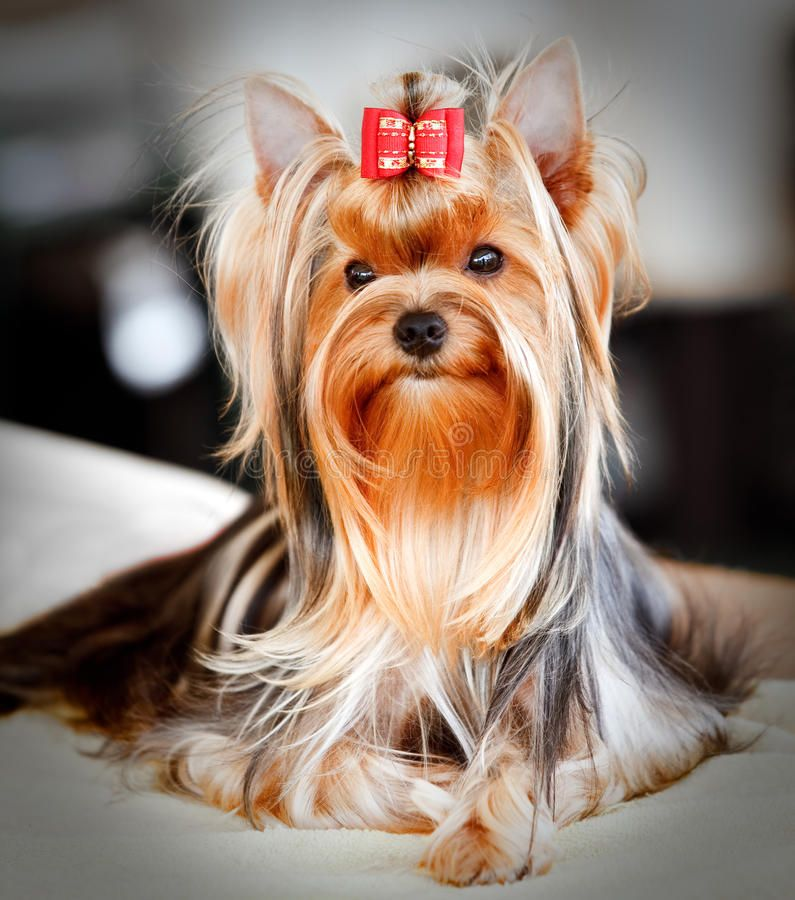 Yorkshire Terrier Portrait Of A Cute