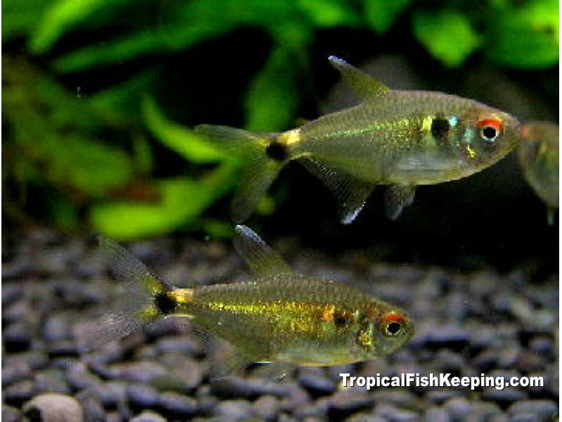 Head And Tail Light Tetra An Old Hobby Favorite Still Popular
