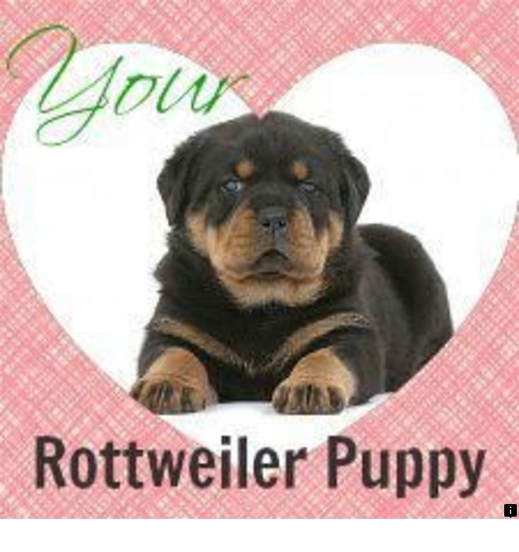 Our web images are a must see rottweiler puppies