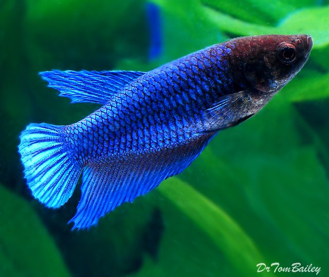 15 list different types of betta fish with pictures for What type of water do betta fish need