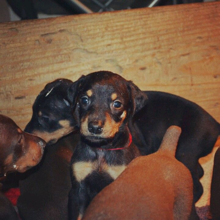 Doberman pinscher puppies victoria