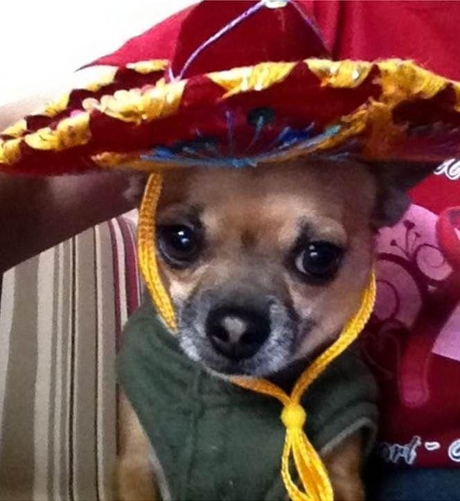Pin By Fox San Antonio On Pets Chihuahua Chihuahua Dogs Pets