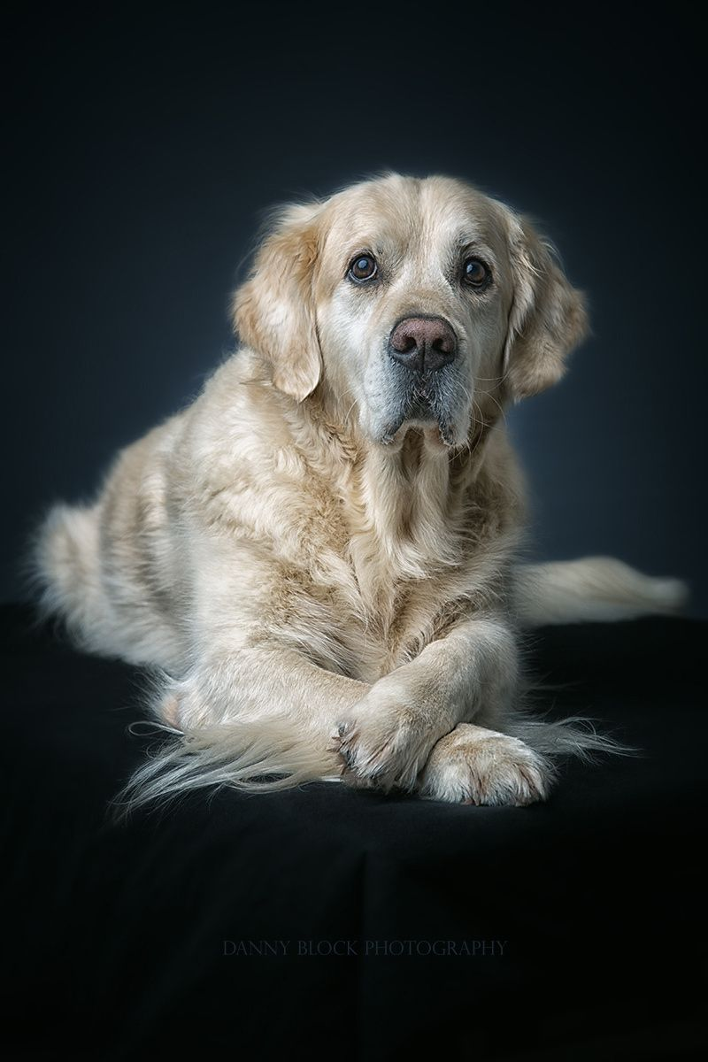Beautiful Golden By Danny Block Photo 131260109 500px Dog