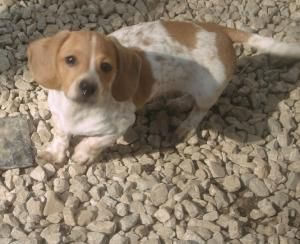 Adopt Daniel On Dachshund Puppy Find Adoptable Dachshund Dog