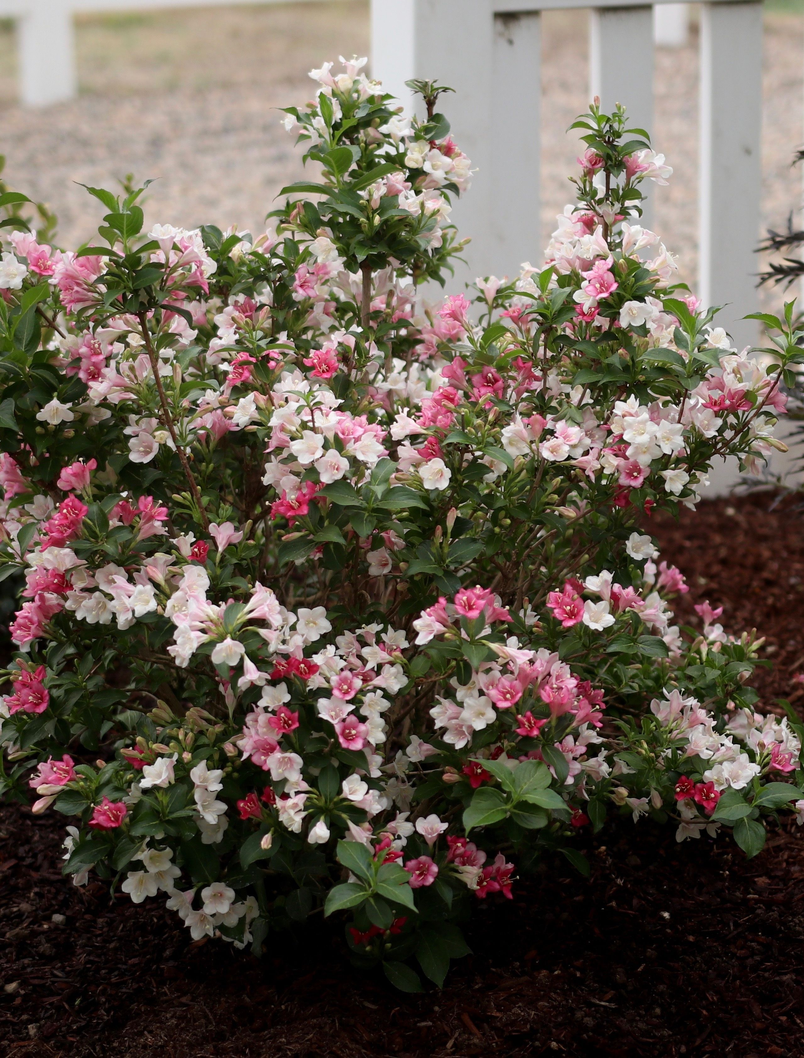 Lantana Kopen Czechmark Trilogy Weigela Florida Plants For Spring Color