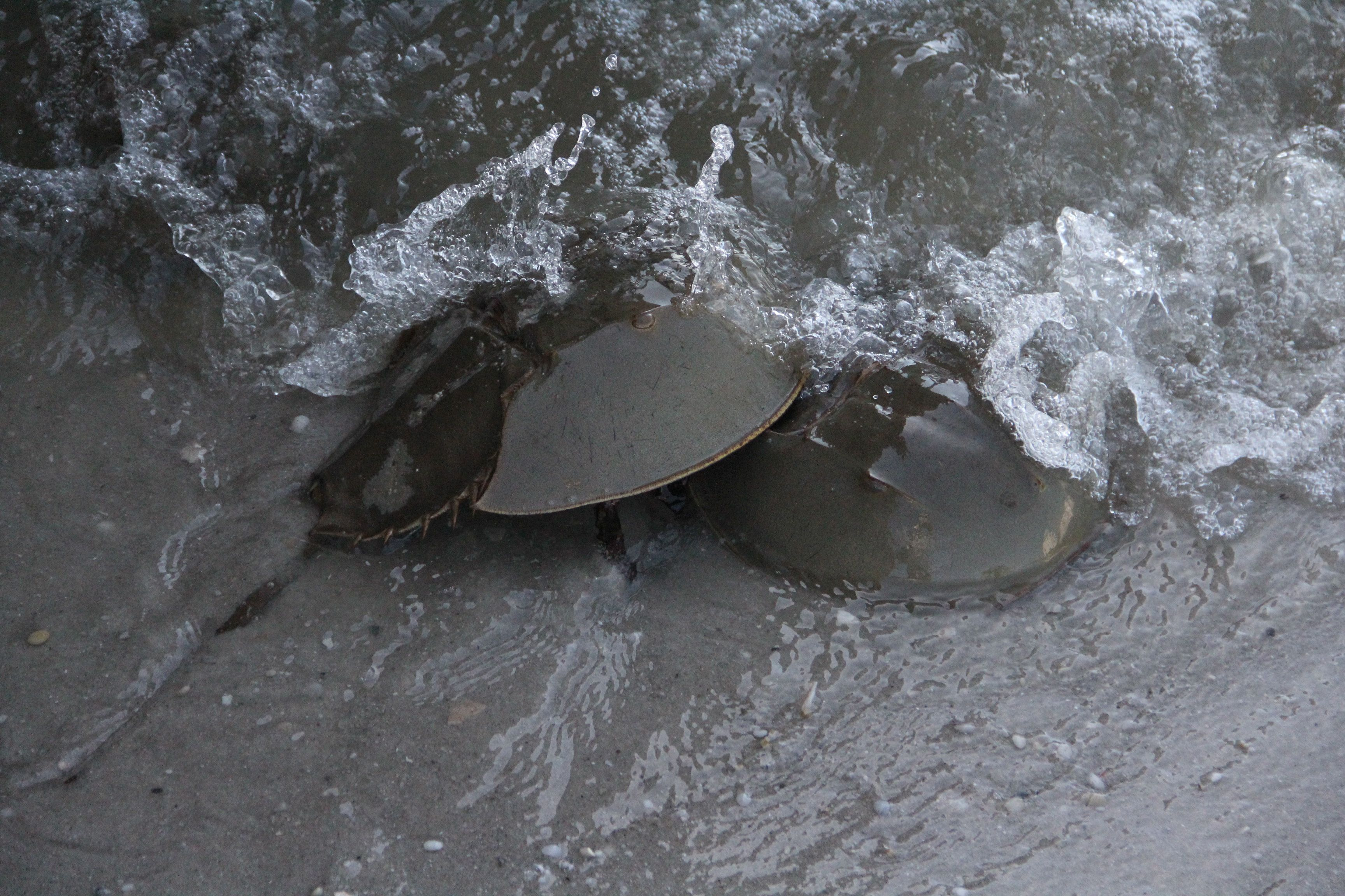 Horseshoe Crabs Cape May County Nj Cape May County Horseshoe Crab Cape May