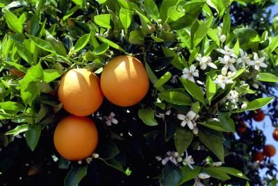 Are coffee grounds good for an orange tree plant spring - Are coffee grounds good for your garden ...