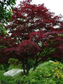 Japanese Maple 'Bloodgood'
