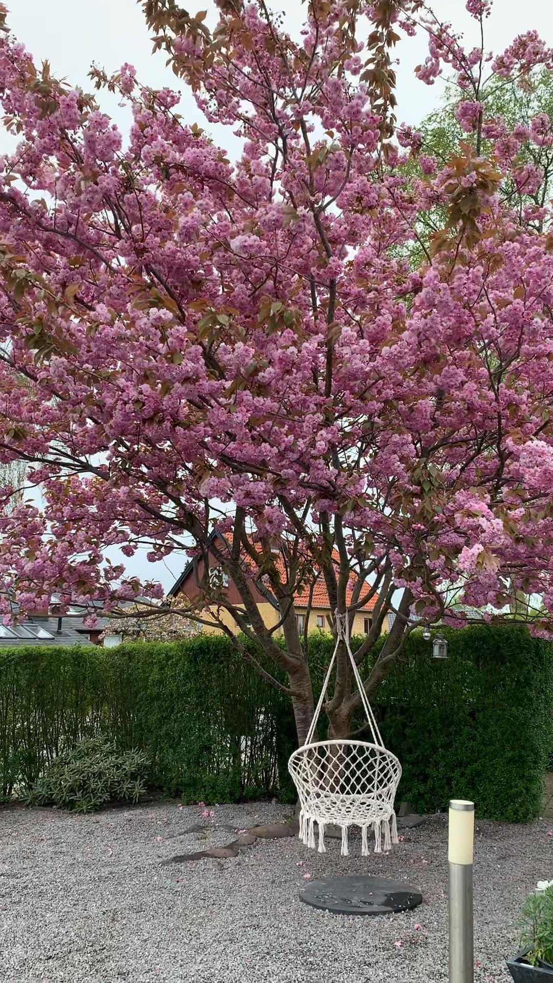 Cherry Blossom Tree 2020 My Home Video Japanese Cherry Tree Cherry Blossom Tree Blossom Garden