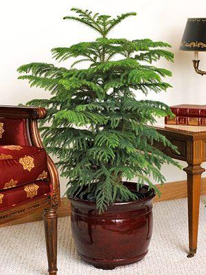 Marvelous Norfolk Island Pine