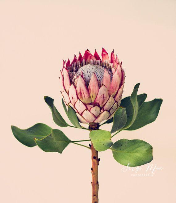 Originele Kunst Foto Koning Protea Bloem Art Bloem Fotografie Home Decor Office Decor Protea Flower Flower Art Flowers Photography