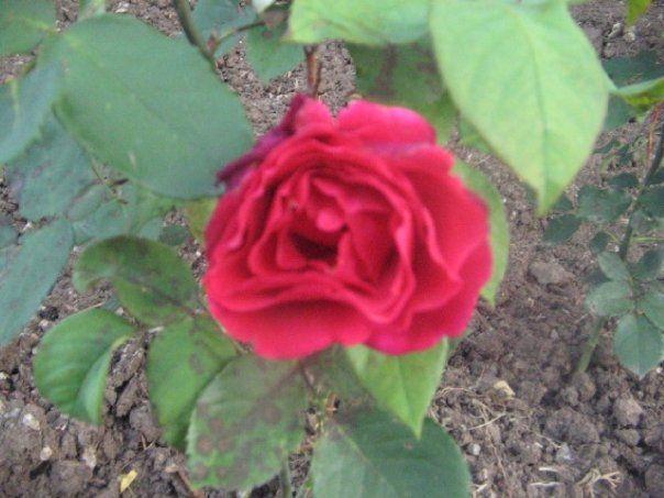 .rose in my rose garden Debbie Whorton