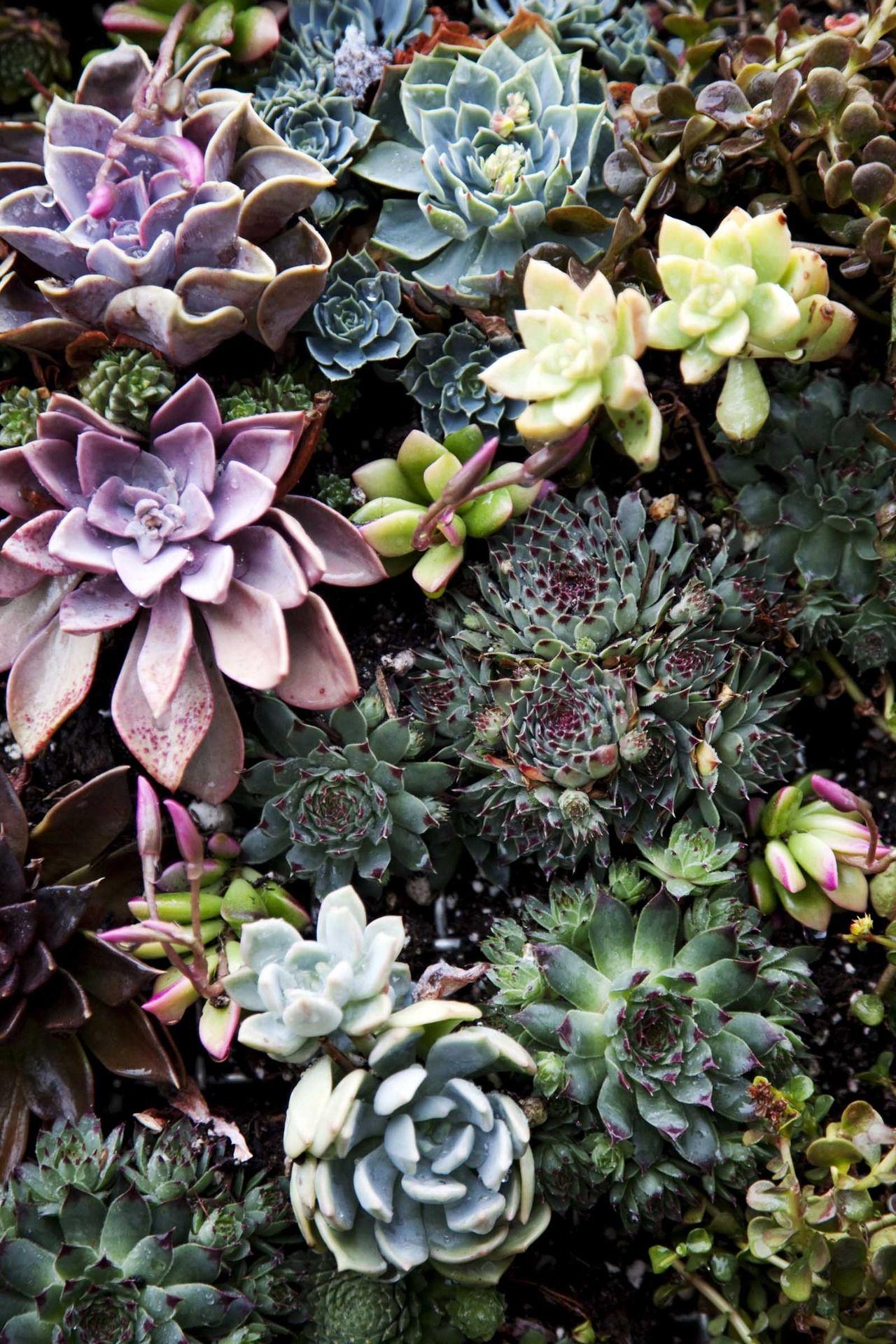 Suculentas Growing In The Garden Cactus Et Plantes Succulentes