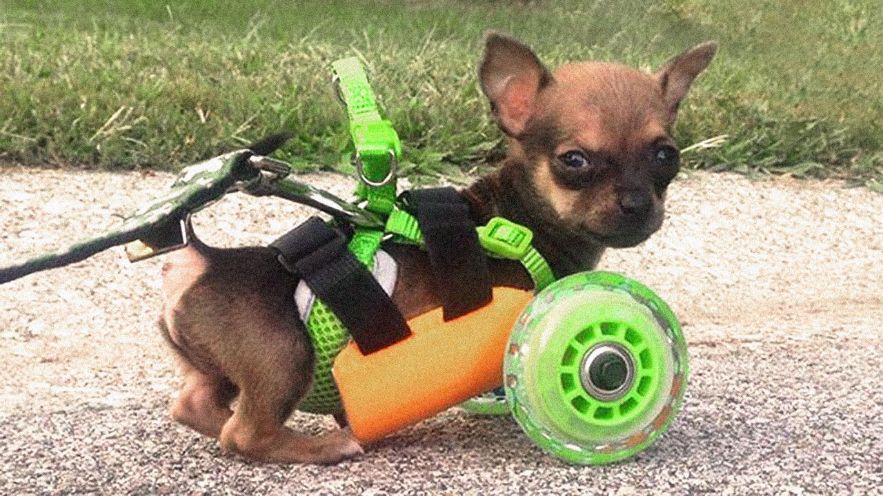 Popular Chihuahua Canine Adorable Dog - 7c35dc0166d2987ff04155949dea3ddd  You Should Have_192793  .jpg