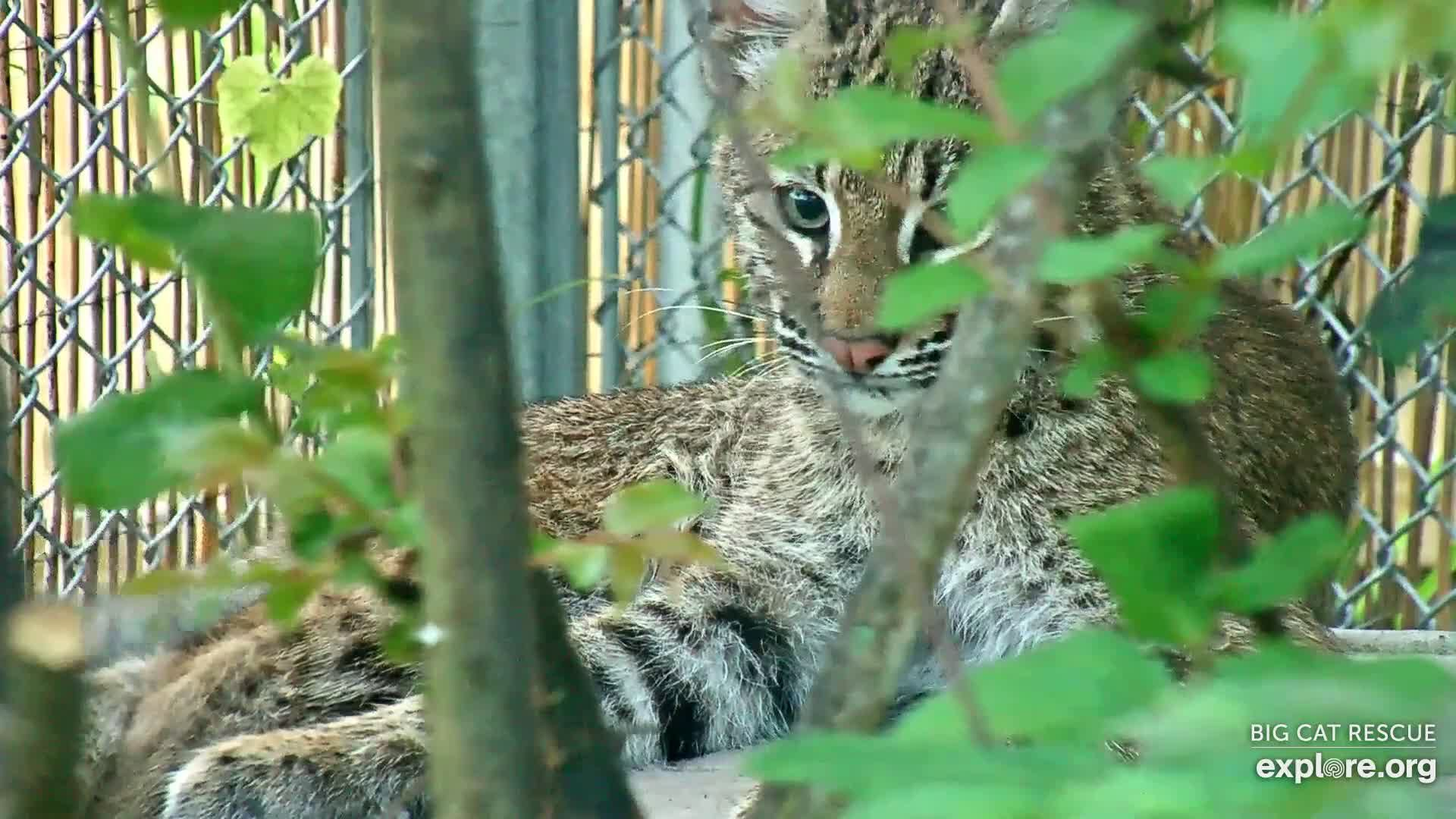 I M Watching The Big Cat Rescue Cam Streaming Live On Explore Org Big Cat Rescue Cat Rescue Snapshots