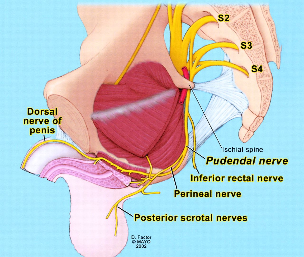 Schematic anatomy of pudendal nerve. Drawing illustrates pudendal ...