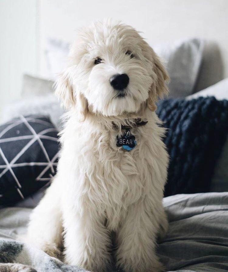 Cream Goldendoodle Insta At Goodboybear Dog Breeds Dogs