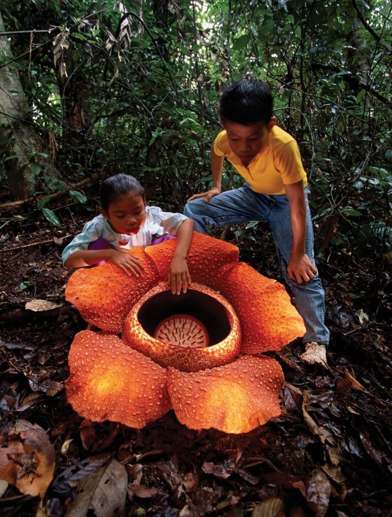 Великан среди цветов Трупный цветок, Плотоядные растения
