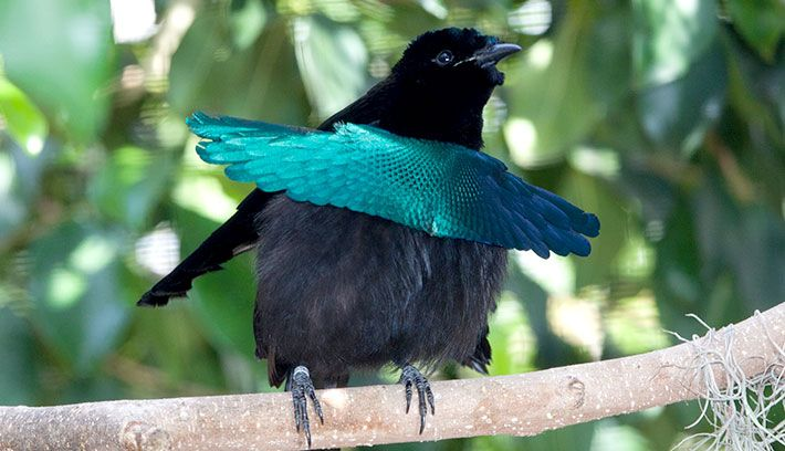 Superb Bird Of Paradise--check out his camouflage | BIRDS