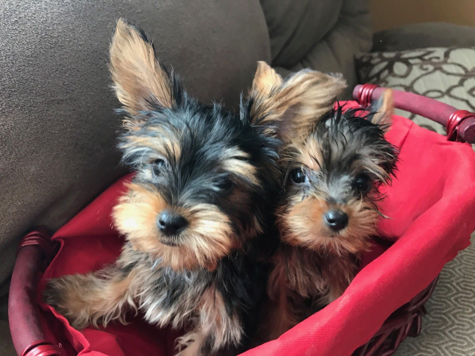 Bonnie And Clyde Need A New Home It S A Yorkie Life Bonnie N Clyde Yorkie Bonnie