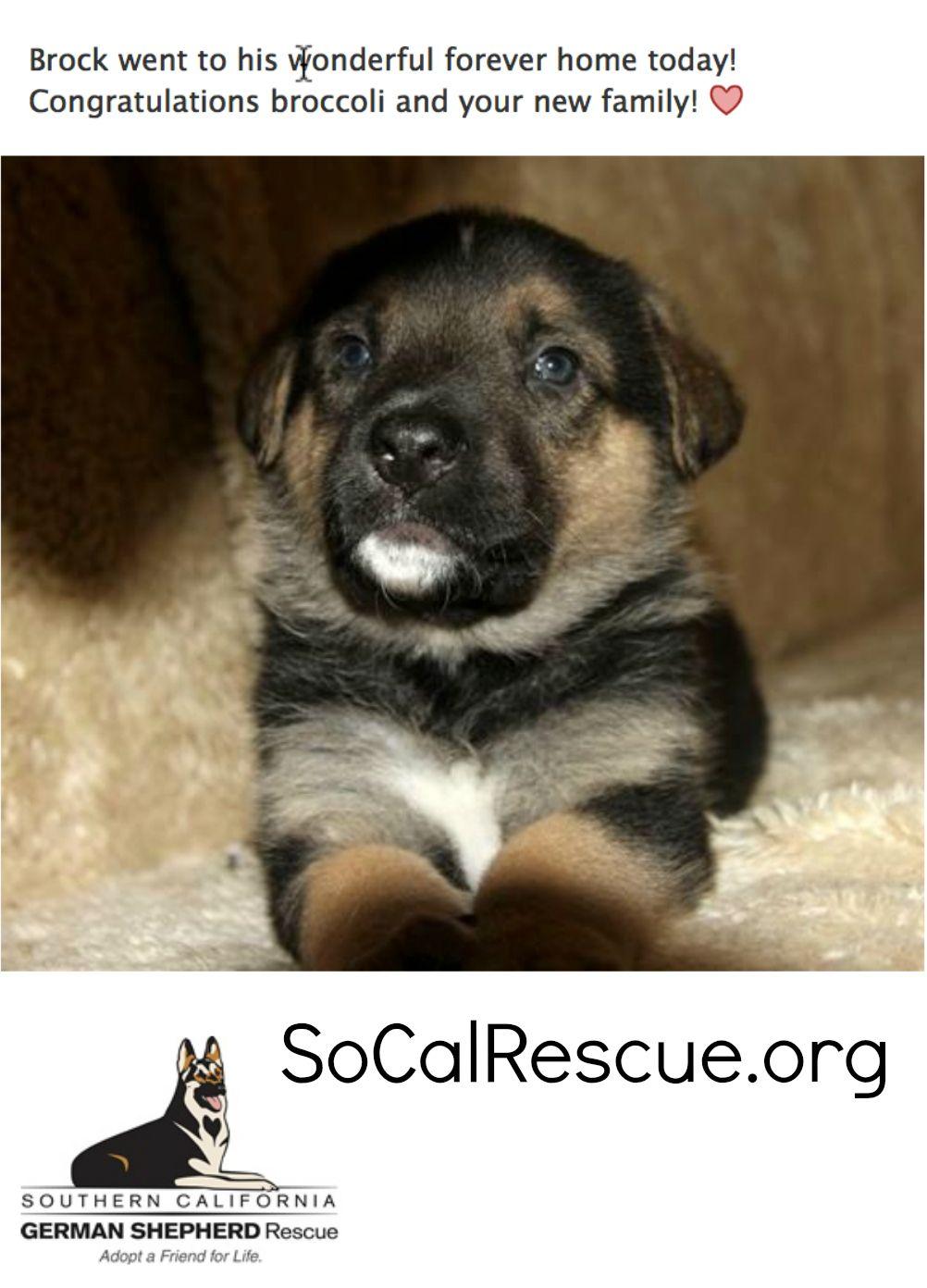 Lukas From Southern California German Shepherd Rescue German