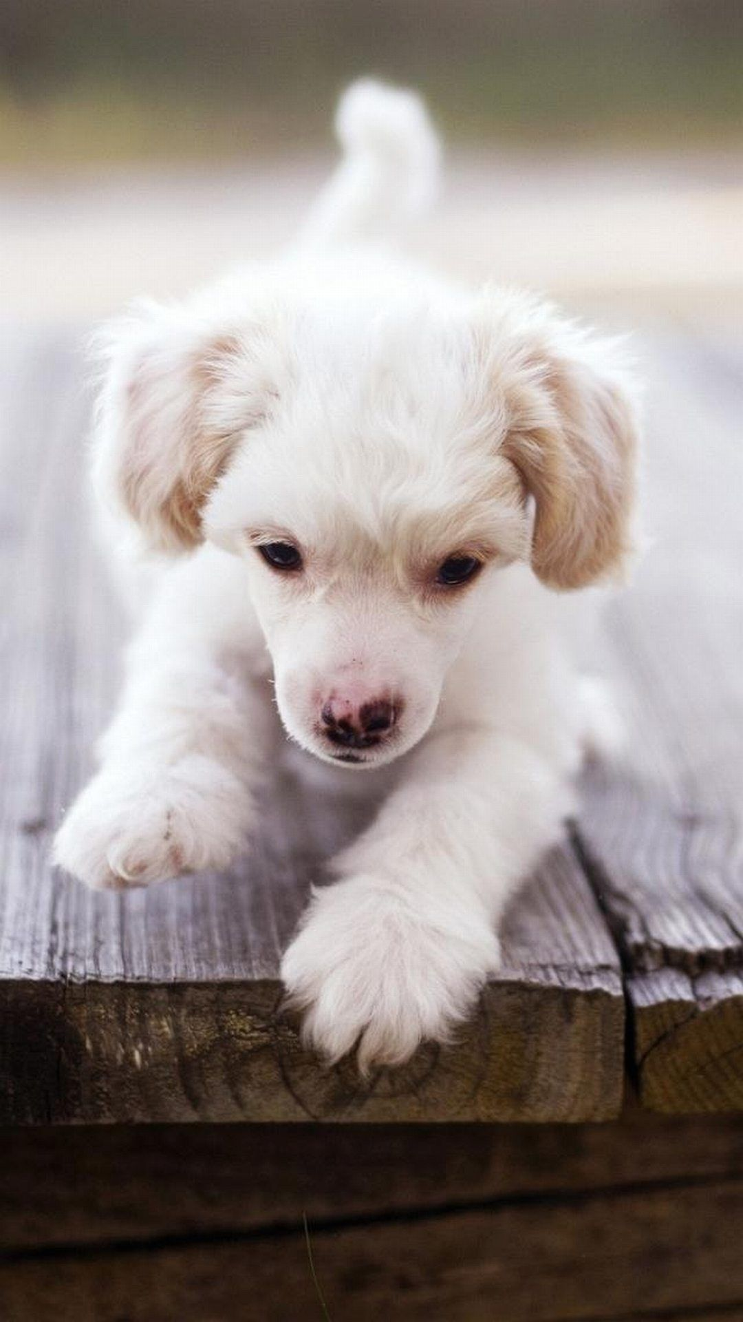 Puppy Dog Cute Puppies Wallpapers For Iphone Animals Phone