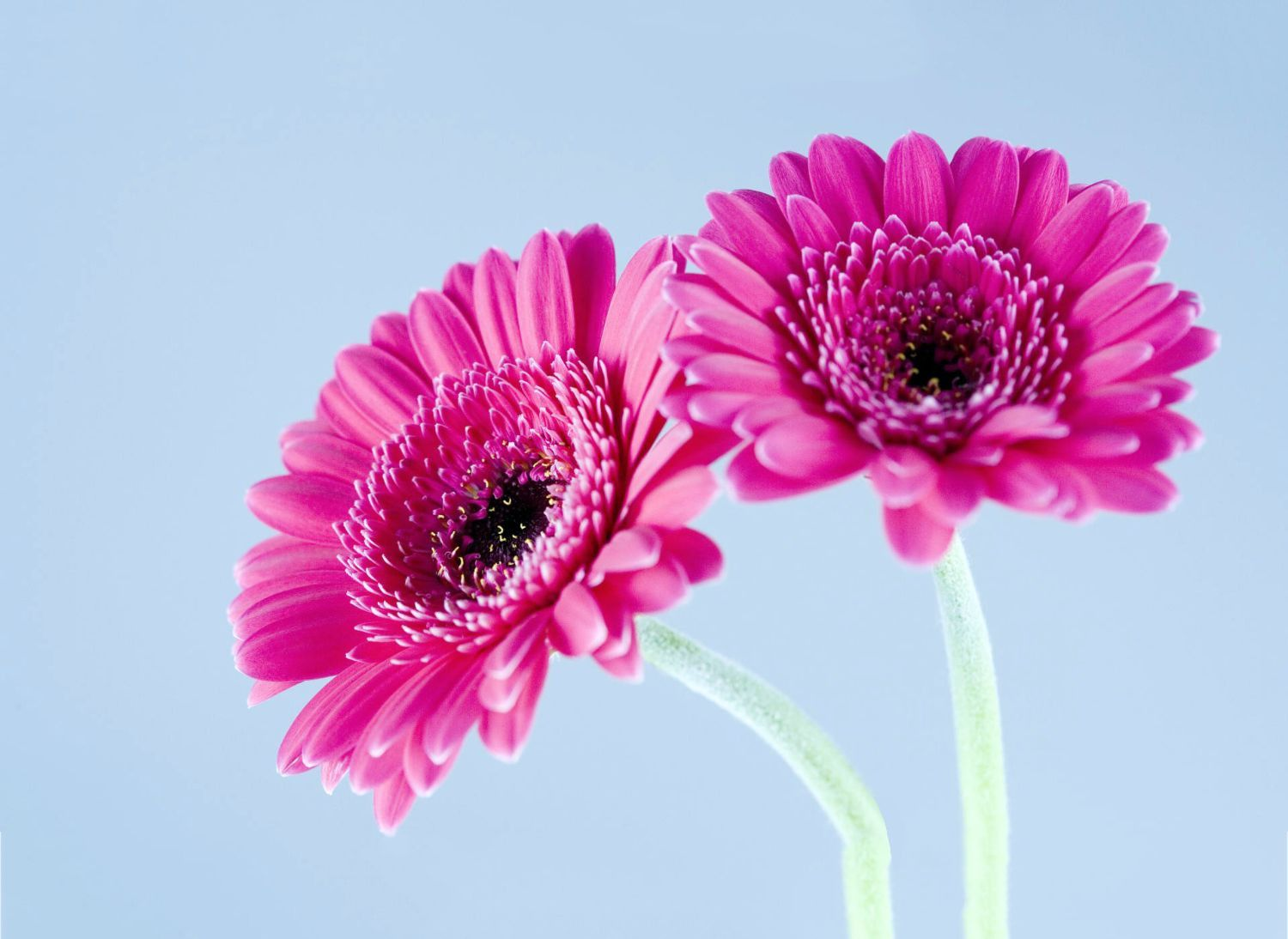 Twin Pink Flowers With Images Gerbera Daisy