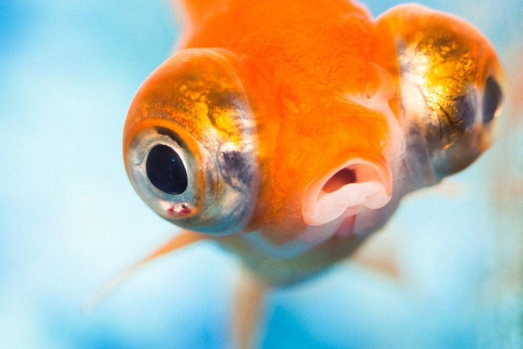 Goldfish can t close their eyes because they have no for Fish eye fun