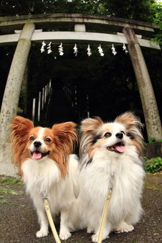 Fantastic Papillon Canine Adorable Dog - 7c39518da7b9188704d2e94dc53bbd02  HD_32562  .jpg