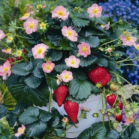 Pikan strawberry glossy leaves pink flowers garden small pikan strawberry glossy leaves pink flowers mightylinksfo